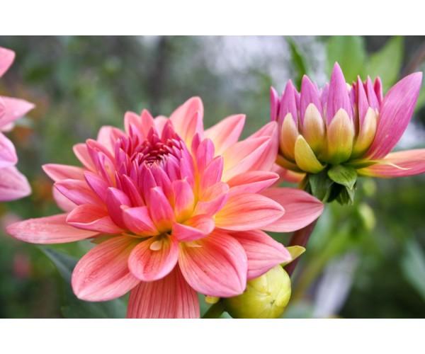 Фотообои Красивые осенние цветы - георгины