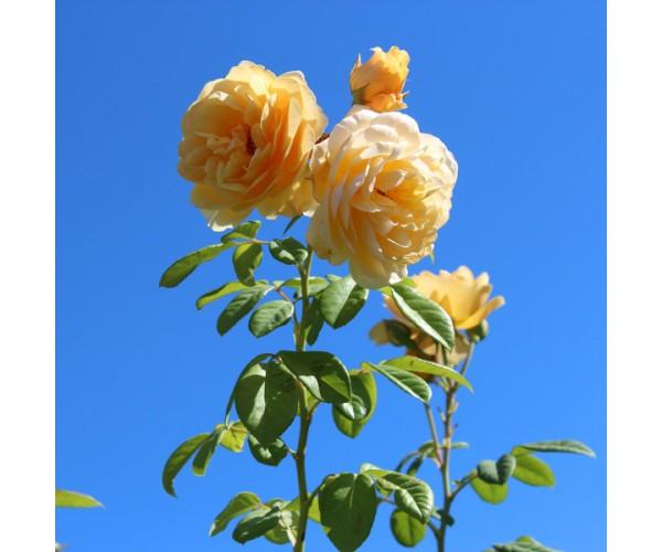 Фотообои Пышные розы