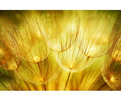 Фотообои Цветы одуванчика, макрофото