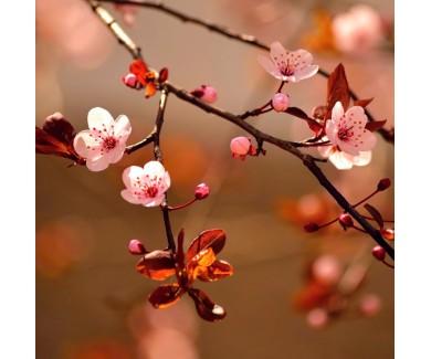 Фотообои Цветы сакуры