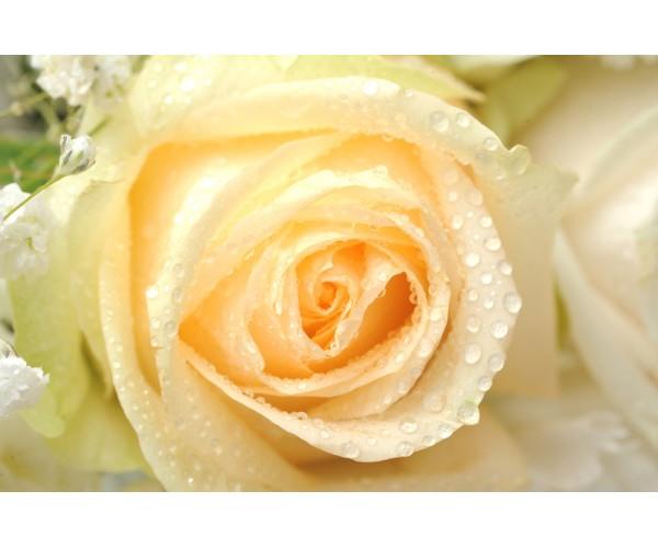 Фотообои Желтая роза в близи
