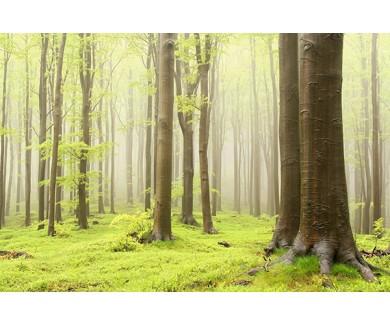 Фотообои Весенний буковый лес