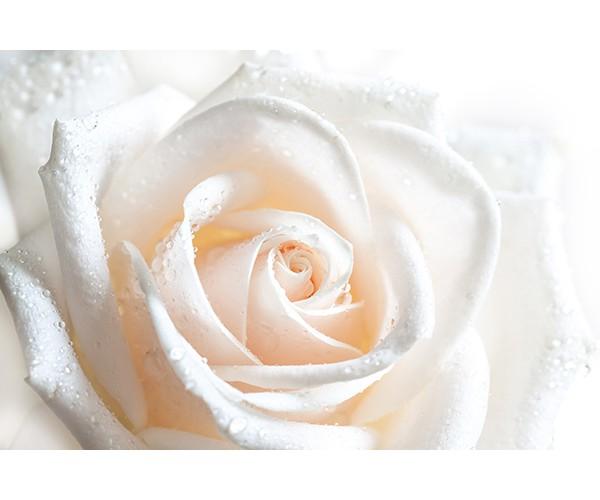 Фотообои Макро фото белая роза - 2