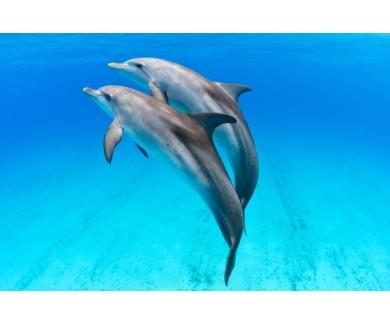 Фотообои Пара дельфинов